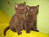 Кішки, кошенята Шотландська короткошерста, ціна 1600 Грн., Фото