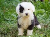 Собаки, щенки Бобтейль, цена 15000 Грн., Фото