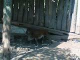 Собаки, щенки Эстонская гончая, цена 10 Грн., Фото