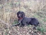 Собаки, щенки Немецкая жесткошерстная легавая, цена 3000 Грн., Фото
