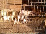 Собаки, щенки Жесткошерстный фокстерьер, цена 4000 Грн., Фото