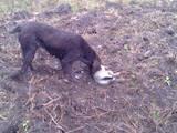 Собаки, щенята Німецька жорсткошерста лягава, ціна 1500 Грн., Фото