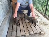Собаки, щенята Жорсткошерста такса, ціна 3000 Грн., Фото