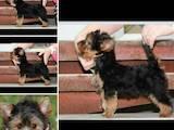 Собаки, щенята Йоркширський тер'єр, ціна 10000 Грн., Фото