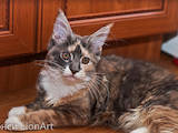 Кішки, кошенята Мейн-кун, ціна 4500 Грн., Фото
