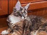 Кошки, котята Мэйн-кун, цена 4500 Грн., Фото