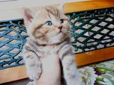 Кішки, кошенята Шотландська короткошерста, ціна 1700 Грн., Фото