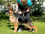 Собаки, щенята Німецька вівчарка, ціна 13000 Грн., Фото