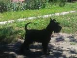 Собаки, щенята Цвергшнауцер, ціна 4000 Грн., Фото