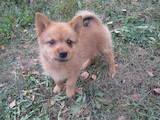 Собаки, щенята Російсько-Європейська лайка, ціна 2700 Грн., Фото
