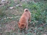 Собаки, щенки Восточно-Сибирская лайка, цена 2700 Грн., Фото