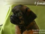 Собаки, щенята Брюссельський гріффон, ціна 11500 Грн., Фото