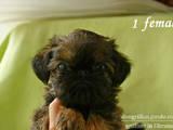 Собаки, щенки Брюссельский гриффон, цена 11500 Грн., Фото