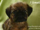 Собаки, щенята Бельгійський гріффон, ціна 11500 Грн., Фото