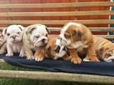 Собаки, щенята Англійський бульдог, ціна 3500 Грн., Фото