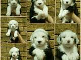 Собаки, щенята Бобтейль, ціна 20000 Грн., Фото