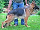 Собаки, щенки Немецкая овчарка, цена 3999 Грн., Фото