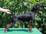 Собаки, щенки Ягдтерьер, цена 15000 Грн., Фото