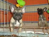 Собаки, щенята Французький бульдог, ціна 8000 Грн., Фото