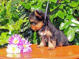 Собаки, щенята Йоркширський тер'єр, ціна 5900 Грн., Фото