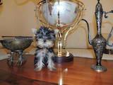 Собаки, щенки Йоркширский терьер, цена 8200 Грн., Фото