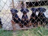 Собаки, щенки Ягдтерьер, цена 2500 Грн., Фото