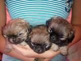 Собаки, щенки Пекинес, цена 600 Грн., Фото