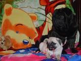 Собаки, щенята Мопс, ціна 10000 Грн., Фото