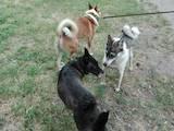 Собаки, щенята Західно-Сибірська лайка, ціна 1200 Грн., Фото