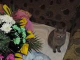 Кошки, котята Британская короткошерстная, цена 50 Грн., Фото