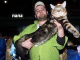 Кошки, котята Мэйн-кун, цена 8500 Грн., Фото