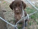 Собаки, щенки Немецкая гладкошерстная легавая, цена 3000 Грн., Фото
