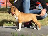 Собаки, щенята Американський стаффордширський тер'єр, ціна 13000 Грн., Фото
