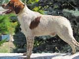 Собаки, щенки Разное, цена 13000 Грн., Фото