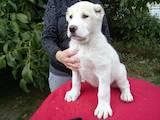 Собаки, щенята Середньоазіатська вівчарка, ціна 3900 Грн., Фото