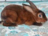 Гризуни Кролики, ціна 350 Грн., Фото