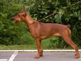 Собаки, щенята Пінчер, ціна 10000 Грн., Фото