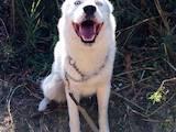 Собаки, щенки Сибирский хаски, цена 1 Грн., Фото