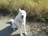 Собаки, щенята Сибірський хаськи, ціна 1 Грн., Фото