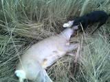 Собаки, щенки Ягдтерьер, цена 1100 Грн., Фото