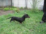 Собаки, щенята Гладкошерста такса, ціна 3000 Грн., Фото