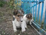 Собаки, щенята Жорсткошерстий фокстер'єр, ціна 1450 Грн., Фото
