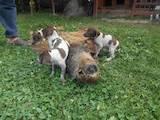 Собаки, щенята Німецька гладкошерста лягава, ціна 700 Грн., Фото