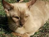 Кошки, котята Бирманская, цена 6500 Грн., Фото