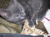 Кошки, котята Русская голубая, цена 200 Грн., Фото