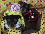 Собаки, щенки Йоркширский терьер, цена 450 Грн., Фото