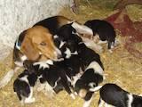 Собаки, щенки Эстонская гончая, цена 800 Грн., Фото