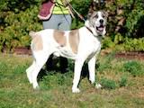 Собаки, щенята Середньоазіатська вівчарка, ціна 10 Грн., Фото