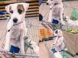 Собаки, щенки Джек Рассел терьер, цена 1000 Грн., Фото