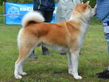 Собаки, щенки Акита-ину, цена 5000 Грн., Фото